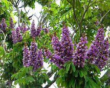 Millettia grandis • 7 Samen-seeds •Tree Wisteria