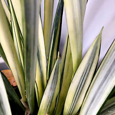 Sansevieria Silver~White Variegated ( BANTELS SENSATION ) Indoor~See last 4 pics