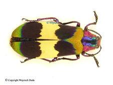 Chrysochroa corbetti, beautiful and rarer buprestidae