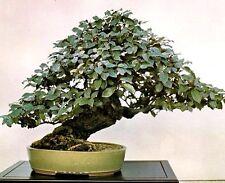 Silverberry - 5 semillas-Elaeagnus Commutata-Bonsai Semillas