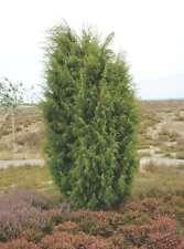 Common Juniper (Juniperus communis) 300 seeds
