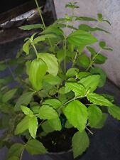 Mexican dream herb true Calea Zacatechichi 6 live plants FREE SHIPPING