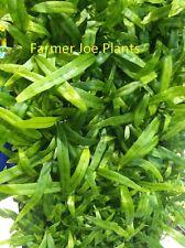 MICROSORUM DIVERSIFOLIUM - KANGAROO PAW - STARTERS - 2 PLANTS