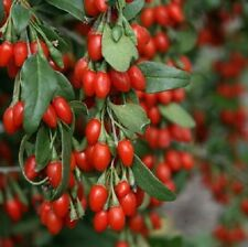 Goji Berry Lycium Barbarum 9cm Pot Super Food Outdoor Edible Plant Wonder Berry
