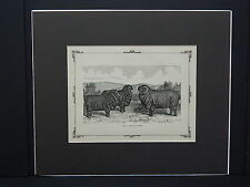 Sheep c1890 Matted Ready To Frame S3 #03 Merino Sheep