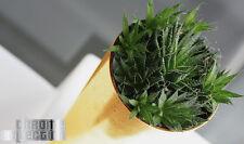 Blumentopf Blumenkübel CHROME mit Einsatz GOLD Regentropfen  Best Preis DGT150GF