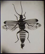 Glass Magic Lantern Slide TELEPHORUS BEETLE C1910 PHOTO INSECT
