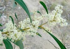 Hickory Wattle Seeds Drought/Frost Hardy Native Evergreen Small Tree
