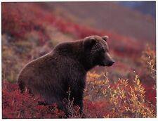 Postcard Female Grizzly Bear in Fall Tundra at Denali National Park Alaska