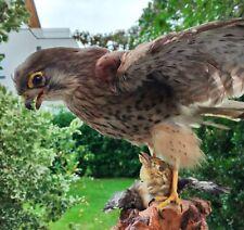 Taxidermy Red Falcon Hawk catch A Prey Yellow Bird On Driftwood Standing Mounts