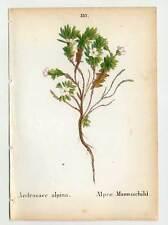 Alpes-Plante-ANDROSACE Alpina-Manns Bouclier Lithographie 1856 Fleur