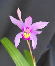 "BLETILLA  'KATIE' COLD HARDY TERRESTRIAL ORCHID PLANT, BLOOMING SIZE 3"" POT"
