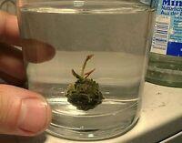 afrikanische Mini-Seerose weiß schnell wachsende Wasserpflanzen für das Aquarium