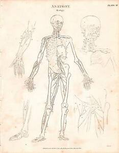 1803 con Fecha Estampado Anatomía ~Myology~ Diagrama Músculos Esqueleto Figura