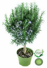 Rosmarin Baum - Stamm - Stämmchen - Rosmarinus officinalis- Kräuter Pflanze