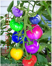 100pcs/bag rainbow tomato seeds, rare tomato seeds, bonsai organic vegetable & f