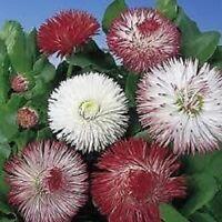 Antirrhinum Circus Clowns 500 Seeds