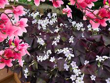 5-OXALIS PURPLE SHAMROCK CLOVER  BULBS - THE GOOD LUCK PLANT