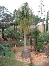 """Ponytail Palm - Beaucarnea recurvata - 4"""" Pot"""