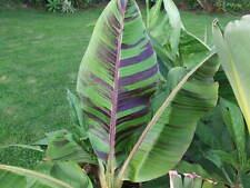 5 Semillas - Bananera del Himalaya - MUSA SIKKIMENSIS  Rara Platanera Resistente