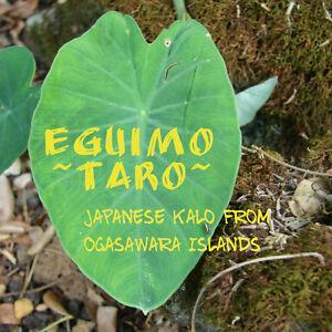 ~EGUIMO~ Japanese Colocasia TARO from Bonin Islds Miyako Live Sml Plant UH #003