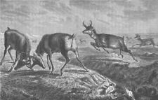 USA.Prong-horn Antelope,hunted by the Utes,Comanches & plains Indians 1890