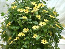 Thunbergia Susie Yellow Black W/Eye Black Eyed Susan Vine 25 Seeds
