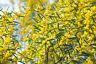 Saatgut exotische Pflanzen Samen Garten Sämereien Balkon Terrasse GELBE AKAZIE