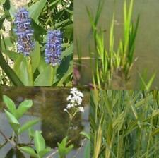 Teichpflanzen für den Mini Teich Komplettset mit Wasserschwaden,Kalmus usw.