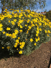 EURYOPS chrysanthemoides 20 FRESH Yellow Bush Daisy Seeds Perennial + GIFT SEEDS