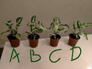 Syngonium STARLITE or Zebrina ~ RARE Variegated  ••COLLECTORS PLANT••