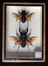 2 stag beetles Odontolabis Elegans beetle display taxidermy insect Lucanidae