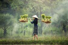 GIRL RICE FARMING IN VIETNAM POSTER PRINT 24x36 HI RES