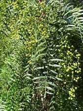 Schinus Molle Falso Pepe Astone di Schinus Molle - albero 140/170 cm - vaso 15cm