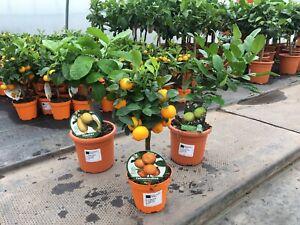 Mini citrus bundle (Lemon, Kaffir Lime and Calamondin)