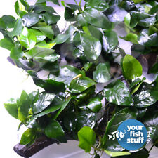 "Anubias Nana attached to Driftwood 3""-5"" - Live Aquarium Freshwater Plants"