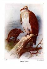 BIRD PRINT ~ 60 YEARS OLD ~ OSPREY ~ FROM BIRDS OF THE BRITISH ISLES