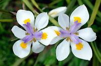 ** die prachtvollen Blüten der KAP-IRIS sind ein tolles Wunder der Natur !