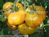 🔥 Candys old yellow Tomate gelb gestreift Tomaten 10 frische Samen Balkon Kübel