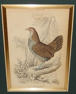 GALLUS SONNERATI FEMALE NATIVE OF INDIA OLD COLOR ENGRAVING