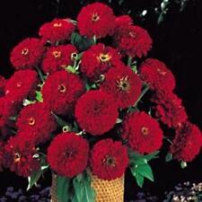 Zinnia Benary Giant Deep Red Annual Seeds