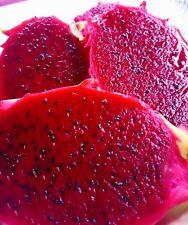 Red Dragon Fruit / Pitta Plant