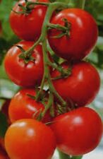 Heirloom Tomato-Money Maker 25+Vegetable Seeds Very Vigorous and Productive