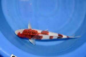 "18"" Ai Goromo High Quality JAPANESE Koi live fish standard fin A1koi"