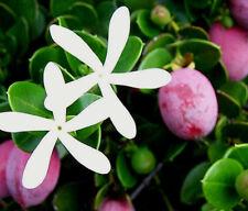 Natalpflaume Carissa macrocarpa ,Exotisch, süß, saftig, Pflaume, duftende Blüten