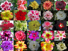 """New!Adenium Obesum """"identified by color"""" 550""""Seeds 25 Types"""