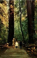 POSTCARD CALIFORNIA  MUIR WOODS NATIONAL MONUMENT REDWOODS CA