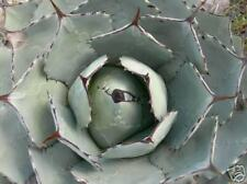10 Agave parryi HK1684 semi PIANTE GRASSE cactus seeds