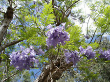 500 Semi Jacaranda mimosifolia, palisanderholz albero, palissandro