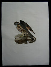 1826 Original Prideaux John Selby Merlin Female Bird Print 1st Edition Excellent
